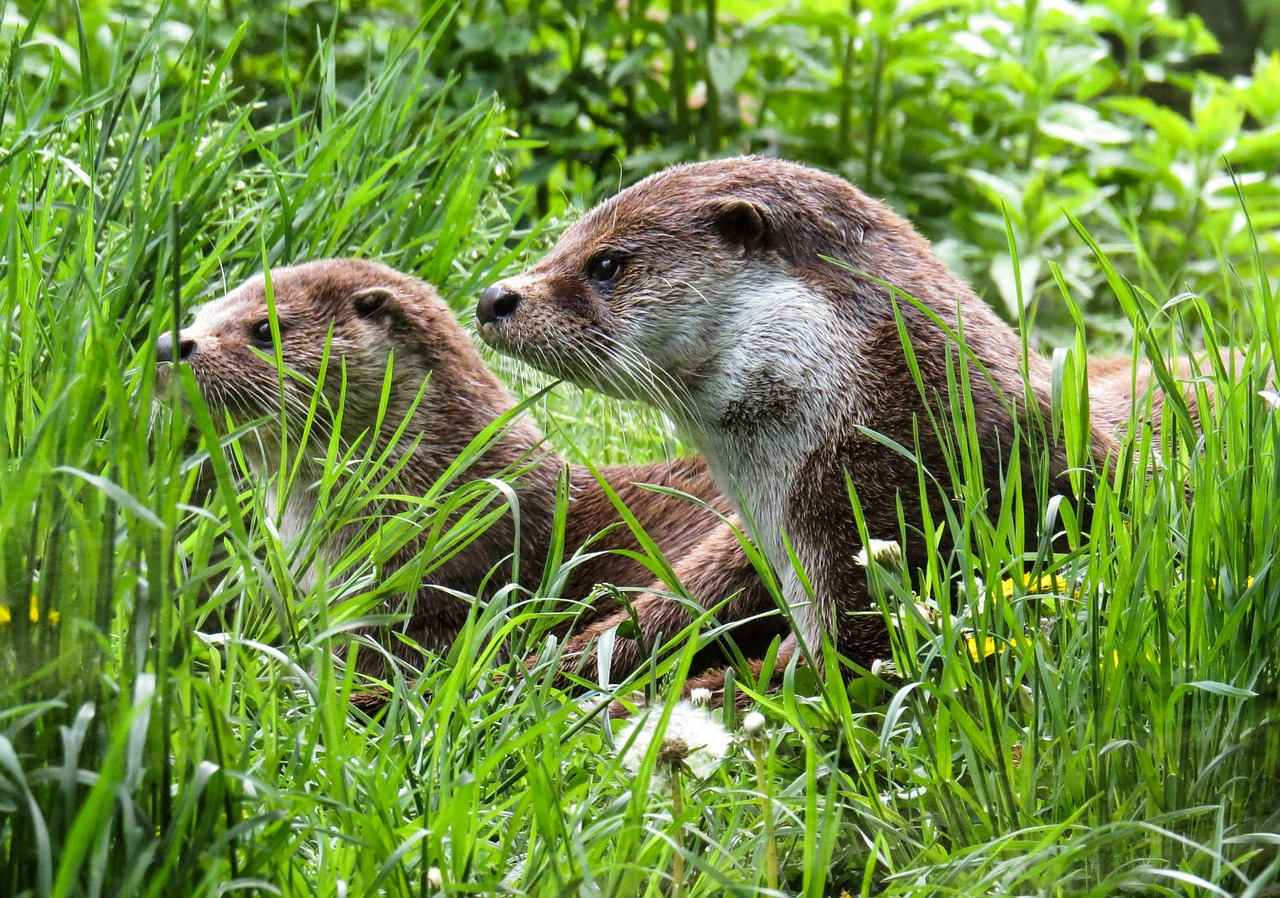 otters nieuwkoopse plassen video