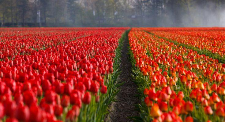 tulpenvelden zevenhoven