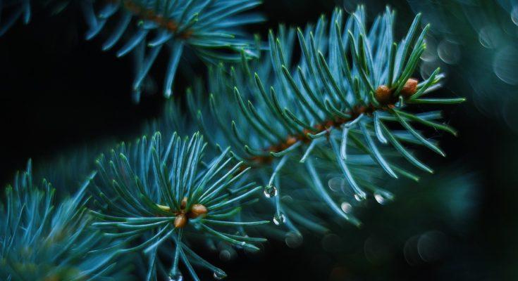 kerstbomen kopen intratuin ter aar