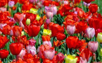 tulpen intratuin