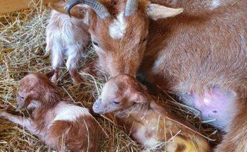 drie geitjes dorpsboerderij nieuwkoop