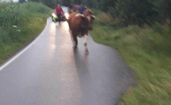 stieren aan de wandel zevenhoven