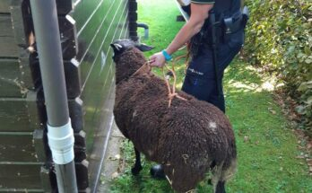 schaap ontsnapt nieuwkoop